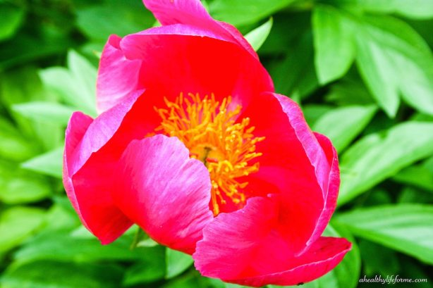 Vibrant Pink Peony Bloom | Peonies; A Love Affair | aheahtlylifeforme.com