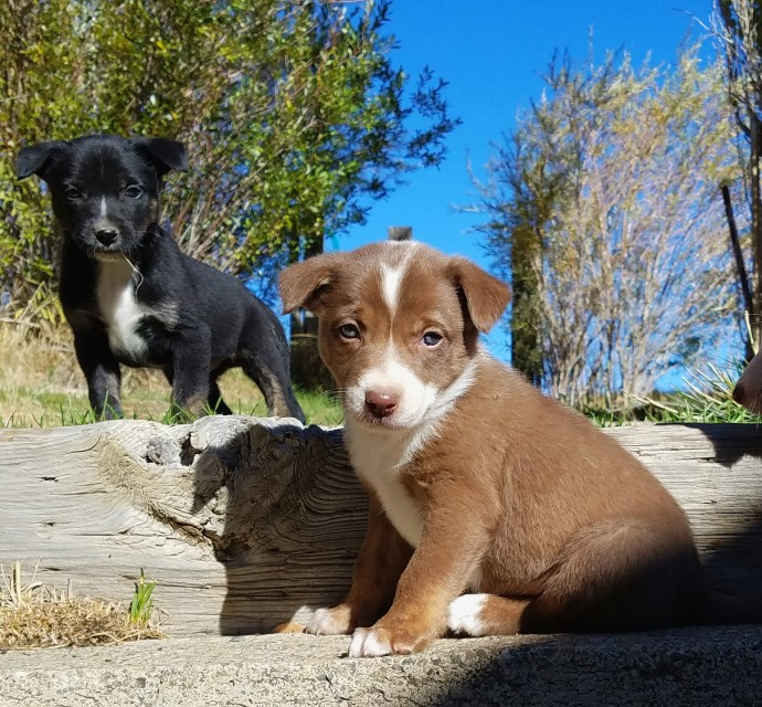 Ranch Puppies