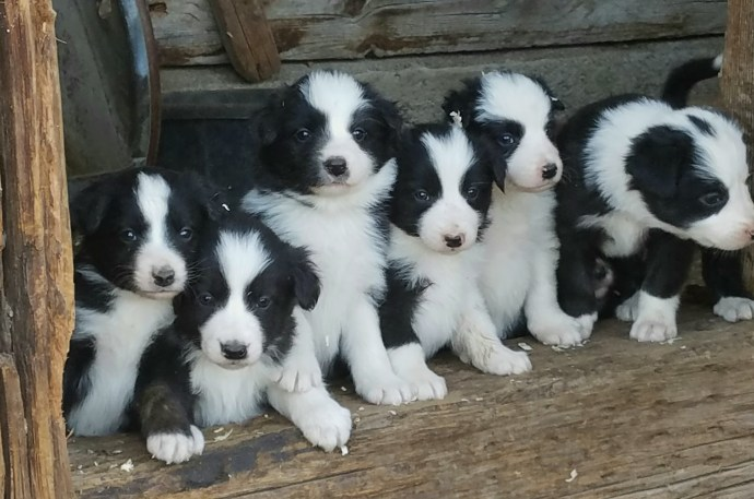 puppies on the ranch