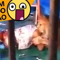 Homem Comido por Leão (VIDEO)