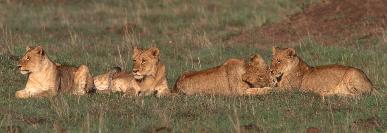 006-lion-pride-masai-mara