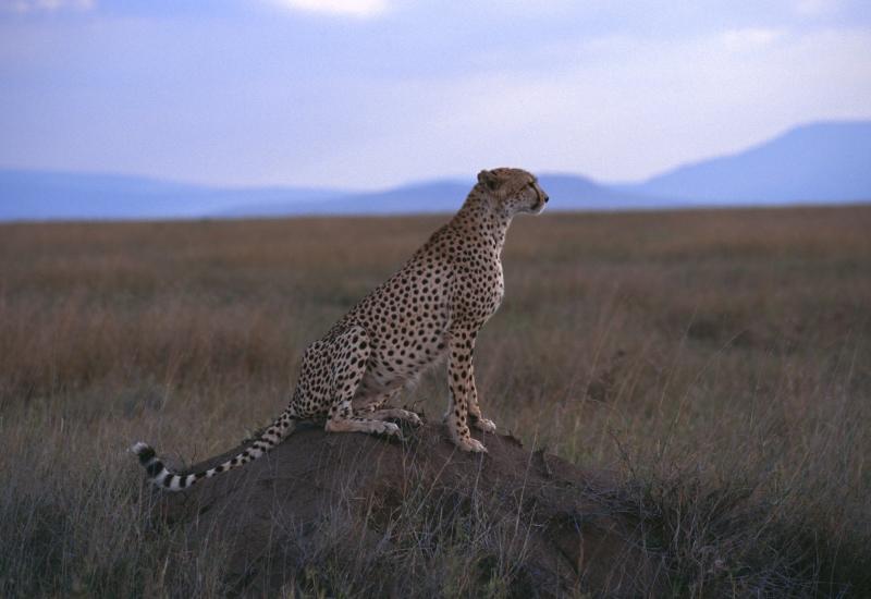 cheetah-tsavo-kenya-national-park-safari