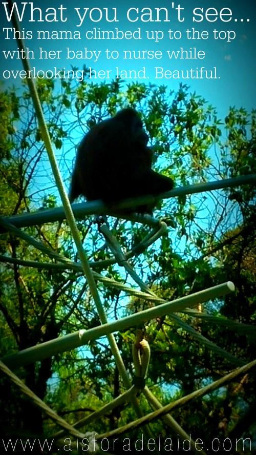 #aisforadelaide #nursingmother #sandiego #sandiegozoo #zoo #travel #california