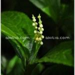 หอมไก๋ ++ Chloranthus erectus