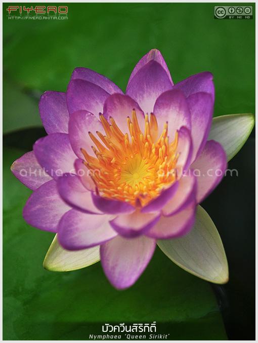 บัวควีนสิริกิติ์, Nymphaea Queen Sirikit, บัวลิขสิทธิ์, บัวฝรั่ง, ไม้ในพระนาม, ไม้น้ำ, ไม้หายาก, ไม้ดอกหอม, waterlily, ดอกสีม่วง, ต้นไม้, ดอกไม้