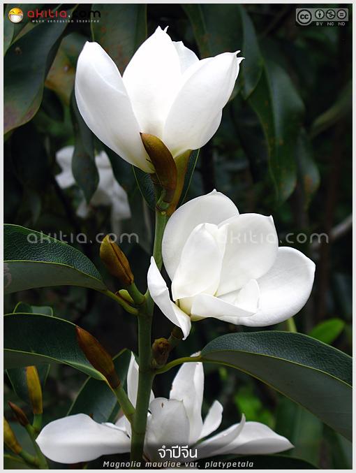 จำปีจีน, Magnolia, platypetala, แมกโนเลีย, maudiae, ไม้ดอกหอม, ดอกดก, ต้นไม้, ดอกไม้, ปลูกต้นไม้, aKitia.Com