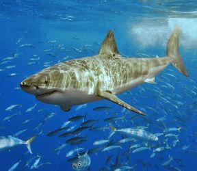 Canavar Köpekbalığı