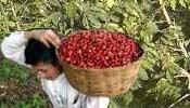 محصول البن بعد جنية