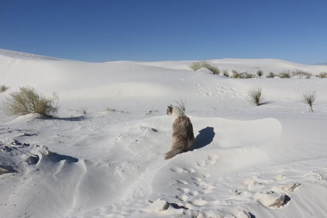 Desert Cat 1