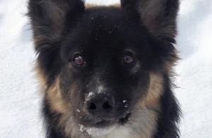 Jaxson Alaska Dog Works