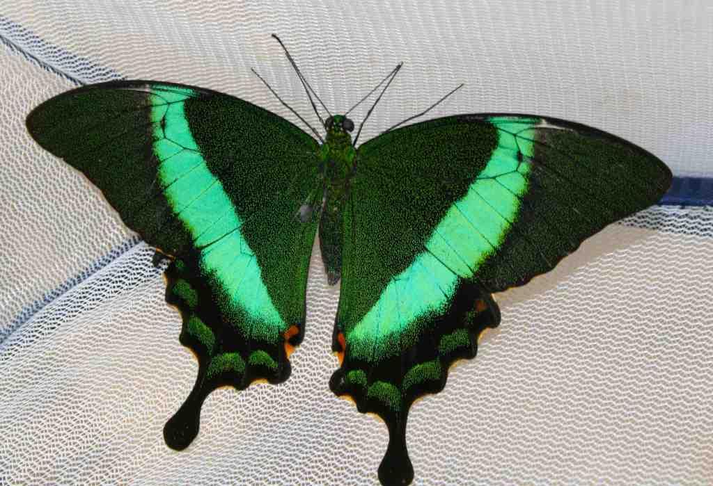 Animalia Arthropoda Insecta Lepidoptera