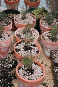 thyme pots
