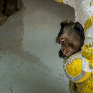 A macaque takes a little snooze in the temple column's capital, a perfect nook for uninterupted rest.