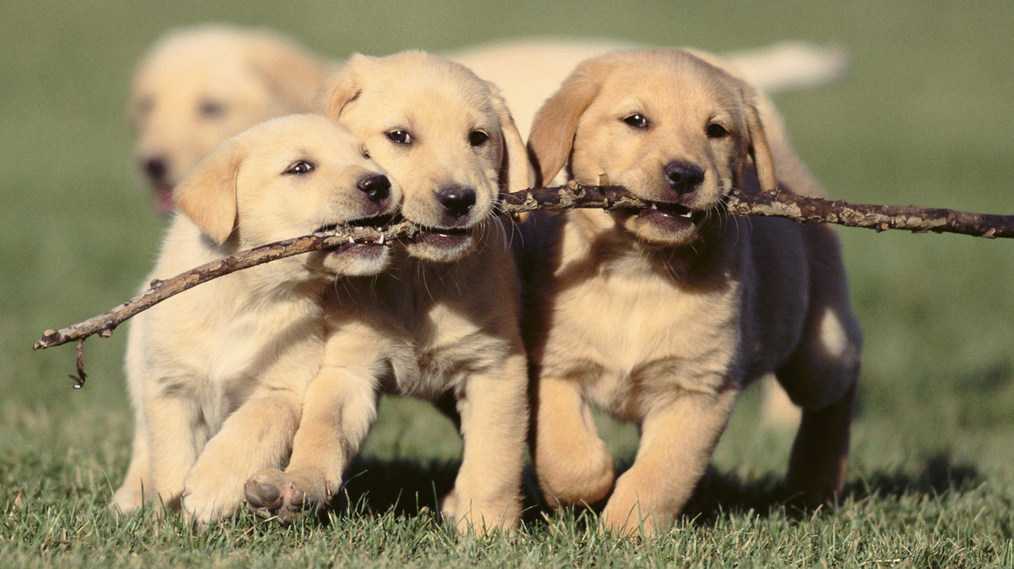 Cordial Puppy Puppies Are Generally Ready To Begin Puppy Class Weeks Enroll At This Y Should Be Haveall Happy National Puppy Alexandria Pet Pet Dog bark post How Long Does It Take For A Dog To Have Puppies