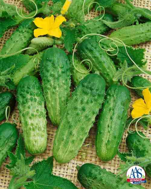 Medium Of When To Pick Cucumbers