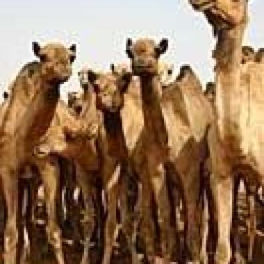The Camel Market