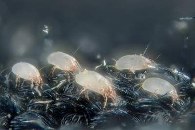 get rid of dust mites from mattress