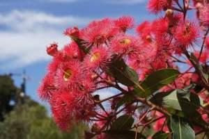 eucalyptus oil for cough
