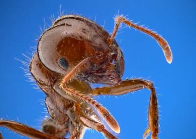fire ant allergy symptoms