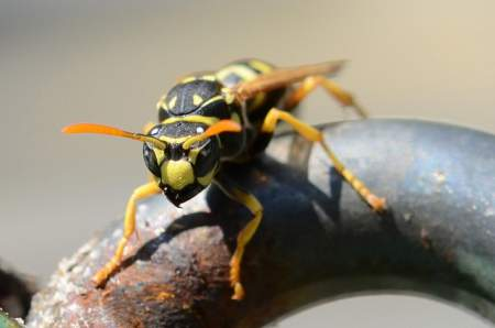 wasp sting allergy symptoms