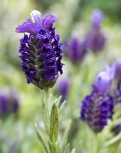 lavender-allergy-symptoms
