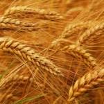 nonceliac wheat sensitivity