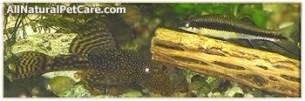 Bristlenose Pleco & C. siamensis with cactus wood to lower pH
