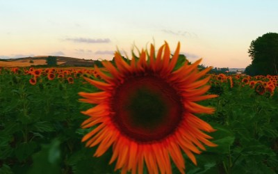 Day 11 – Nobody Can Look at a Sunflower and Not Smile
