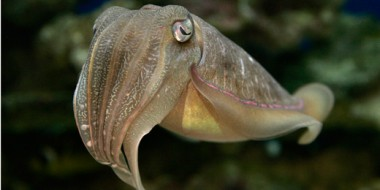 This is what a cuttlefish looks like.