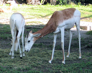 Dama Gazelle Facts