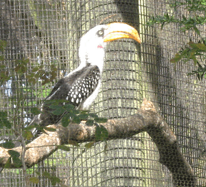 Eastern Yellow-Billed Hornbill Facts
