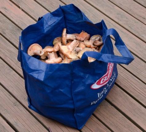 Pine mushroom haul