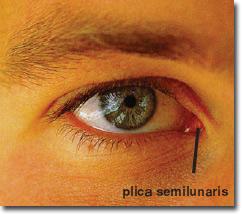 Plica semilunaris