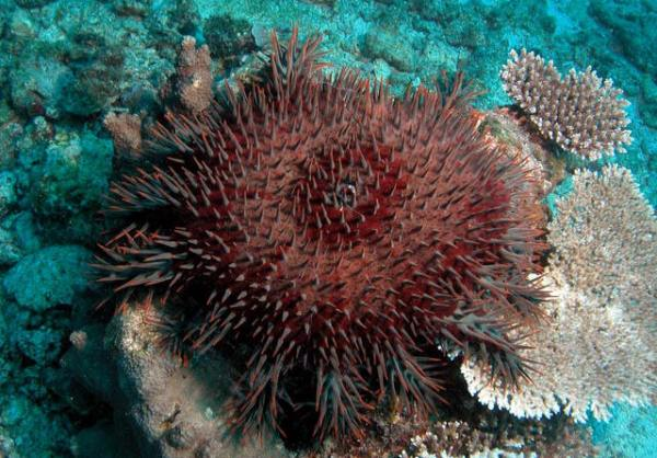 Crown of Thorns Fish