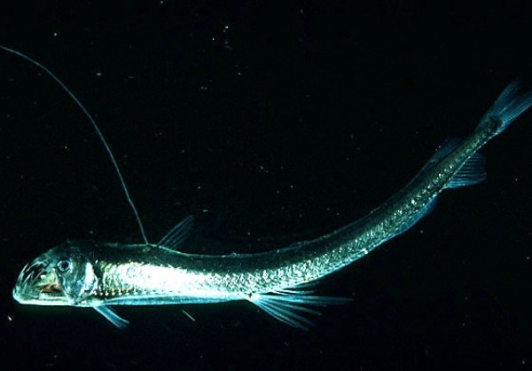 The Viperfish