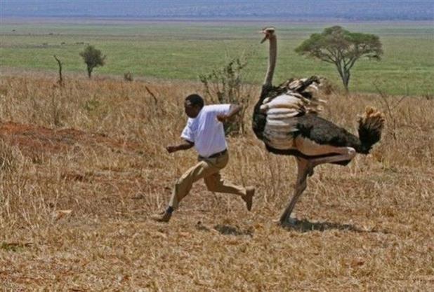Ostrich - Largest bird in the world