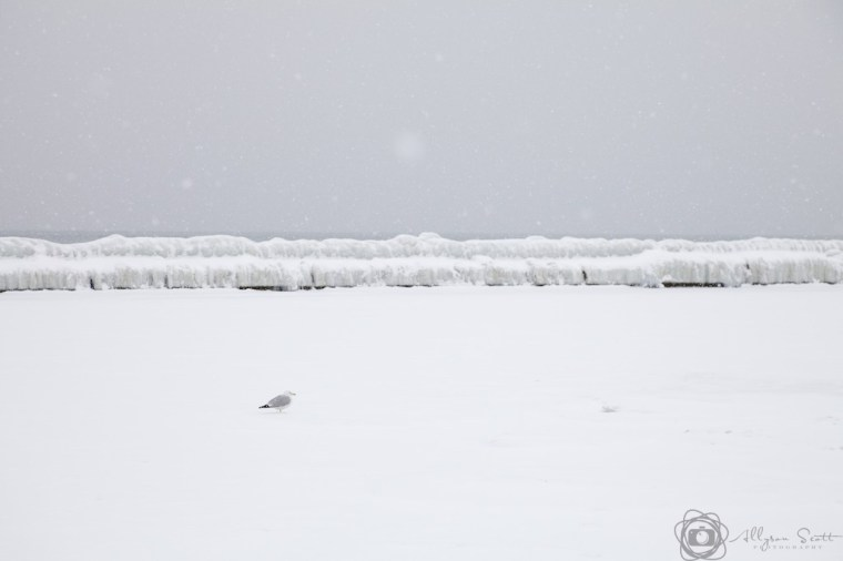 Seagull on frozen Lake Ontario, Toronto, Ontario