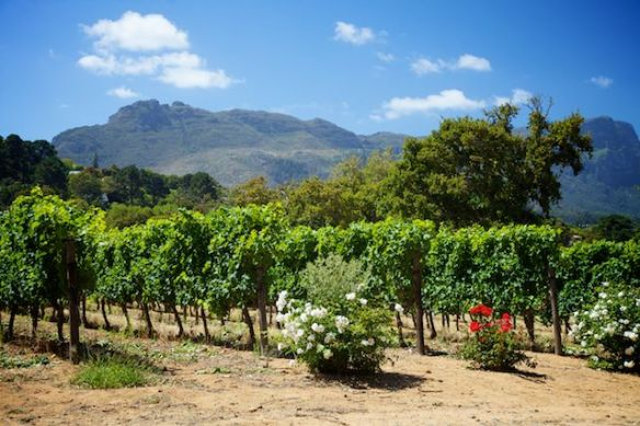 Groot Constantia vineyard, South Africa  (c) Allyson Scott