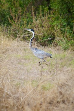 Heron in grass