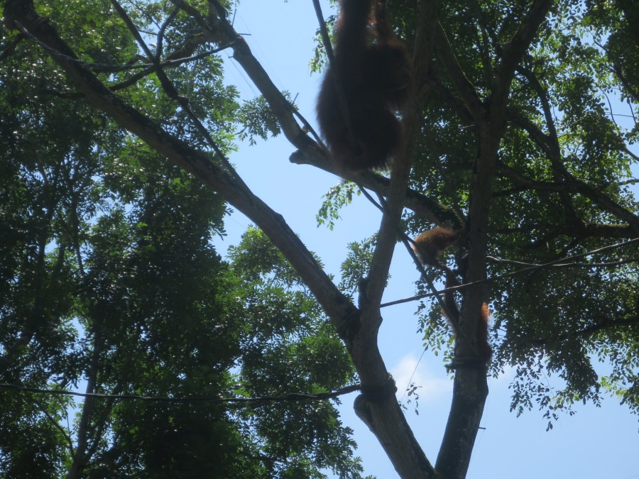 They have a unique monkey enclosure that essentially lets them roam the treetops of the zoo at will, so it's not uncommon to look up and see monkeys