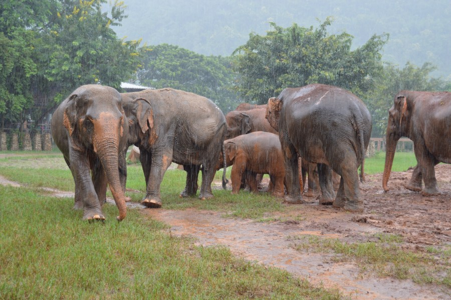 A family of elephants, unfazed by the rain