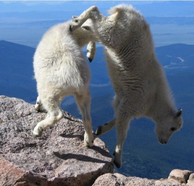 Crazy 'Living on the Edge' Goats