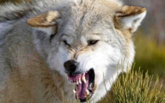 wolf_fangs