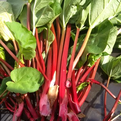 Fresh picked rhubarb