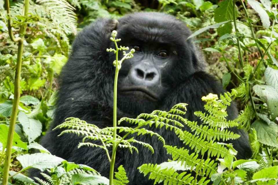 Gorila de montanha no Ruanda