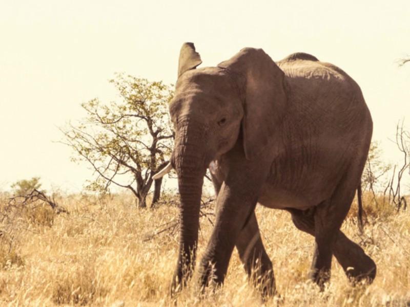 Elefante Africano na Namibia