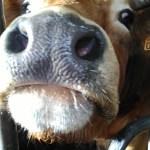 bisous de vache 088