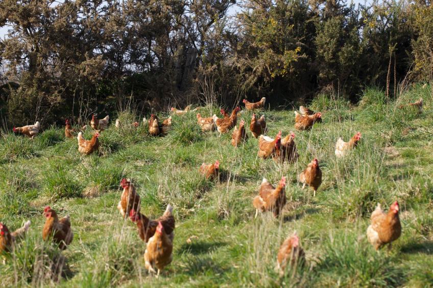 poules dans le pré 55