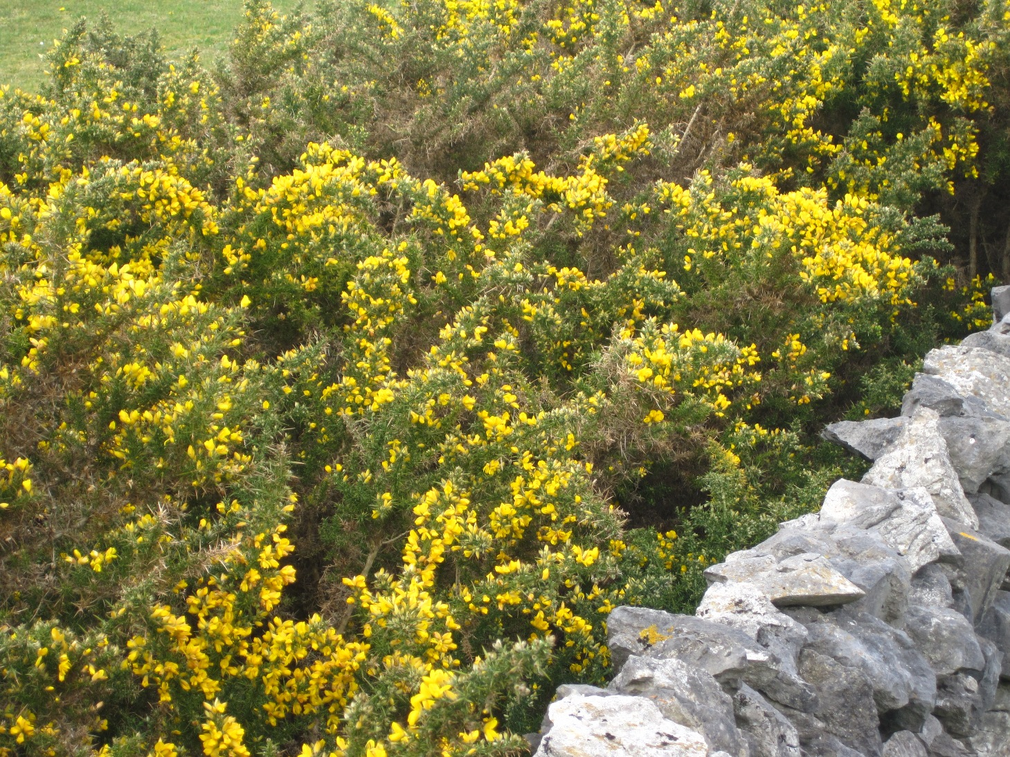 Spiky Bush With Yellow Flowers Topsimages