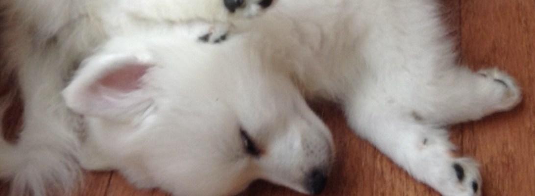 american-eskimo-sparky-sleeping
